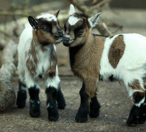 pygmy-goat-twins