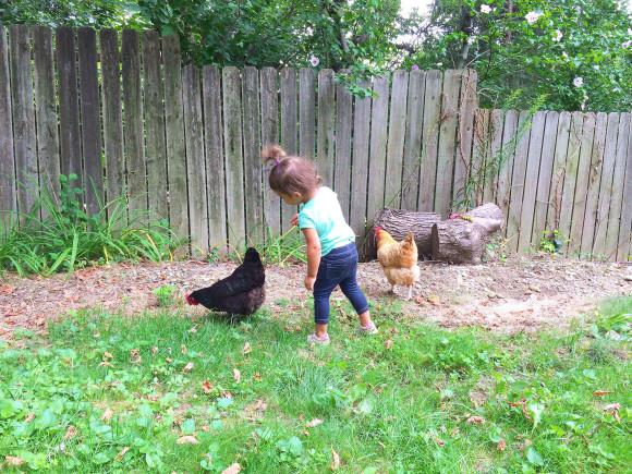 Chickens Round 2 017