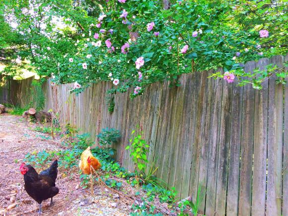 Chickens Round 2 019
