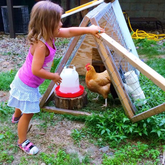 Chickens Round 2 033