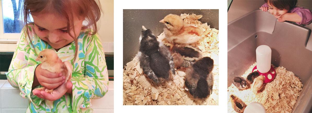 Bringing Home Chicks1